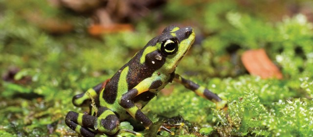 Limosa Harlequin Toad (Atelopus limosus) in New Scientist