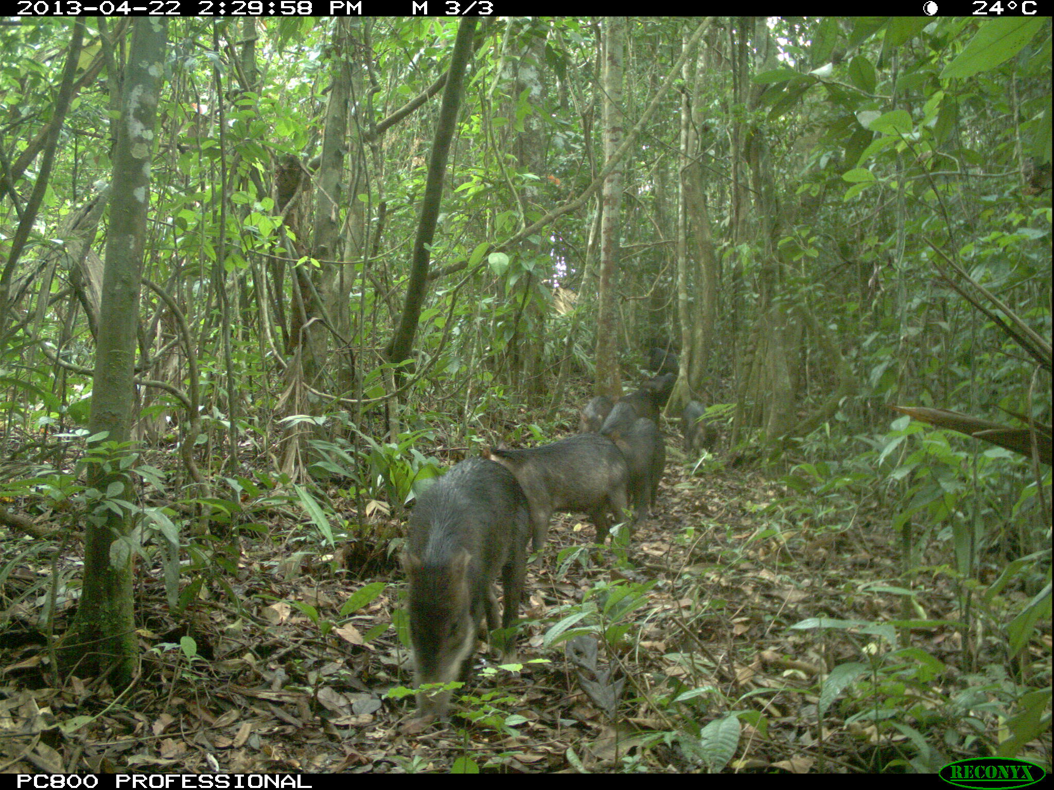 White lipped peccaries caught on camera