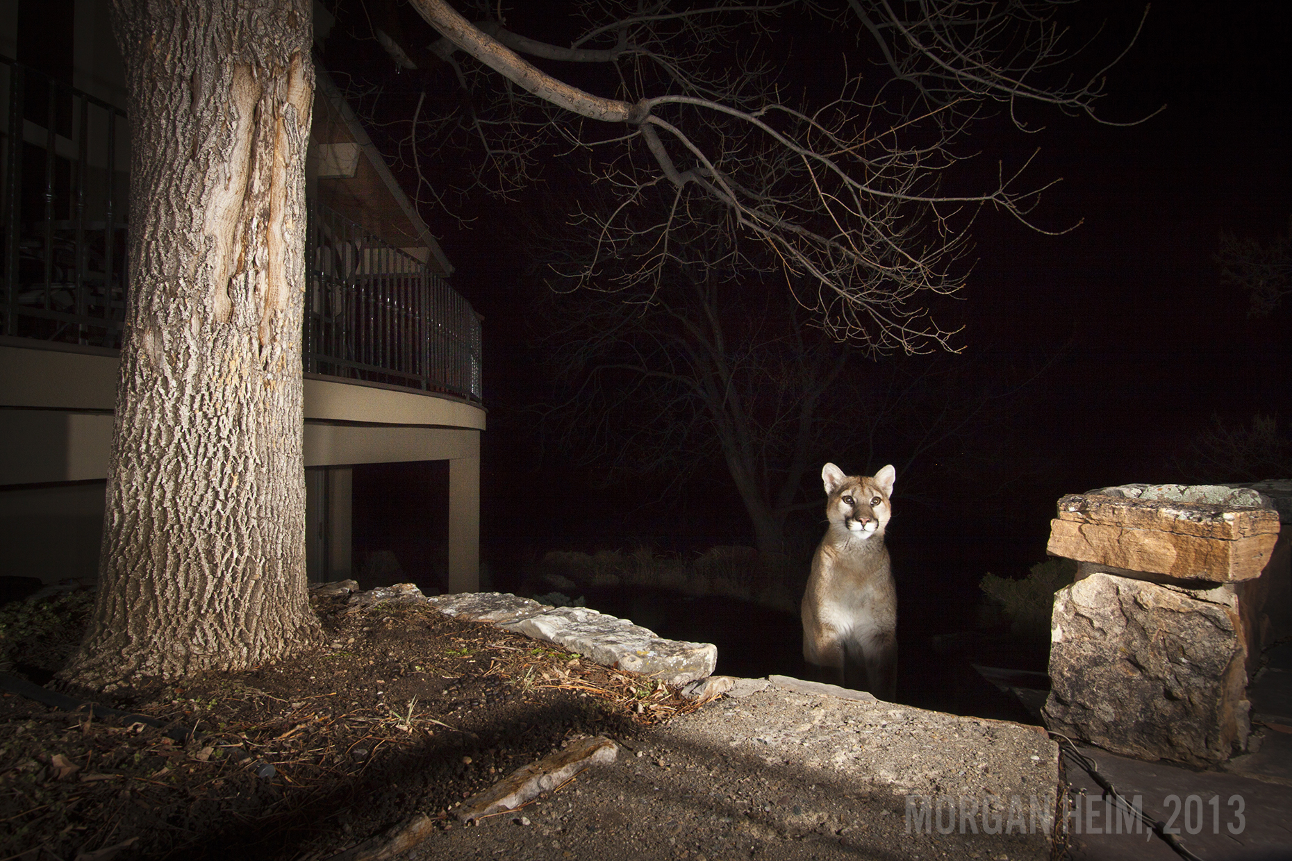 Suburban Mountain Lion