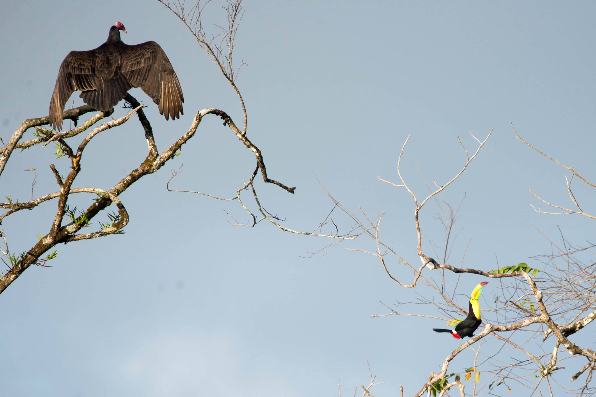 Turkey Vulture and Toucan