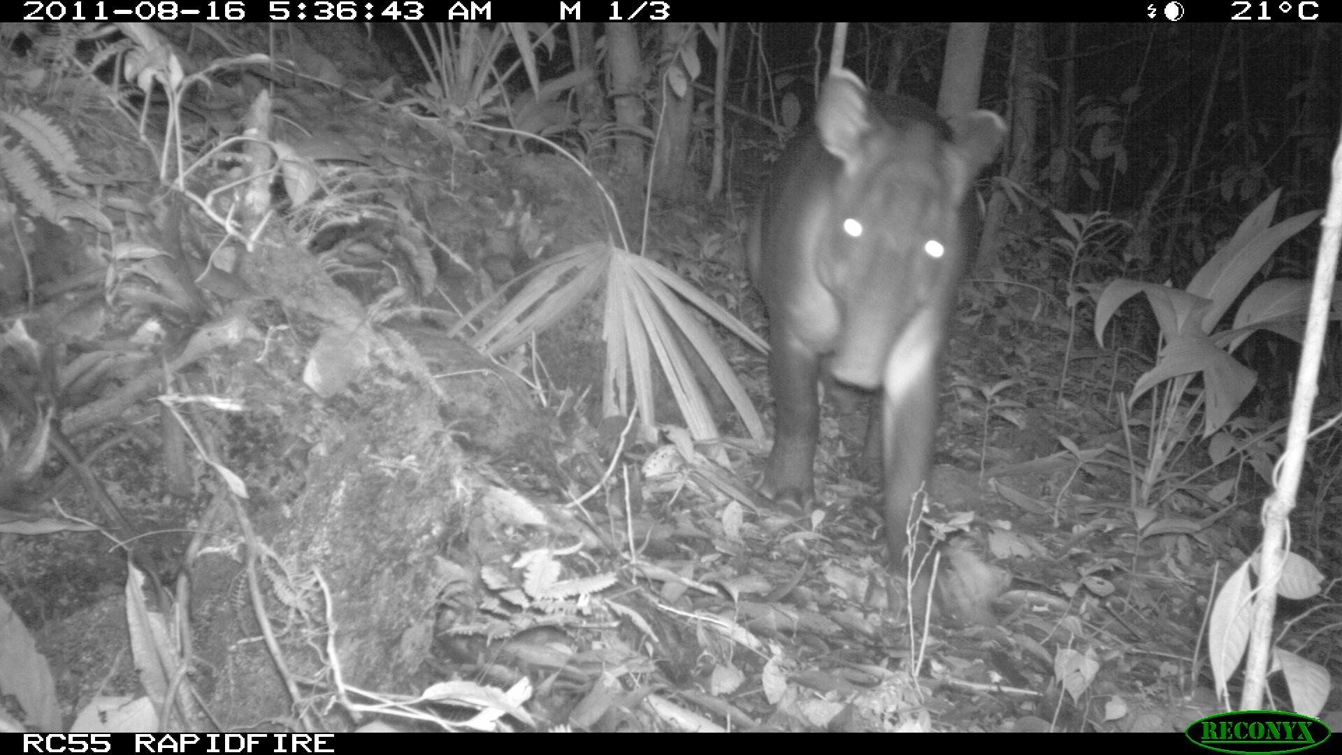 Brazilian Tapir caught on camera