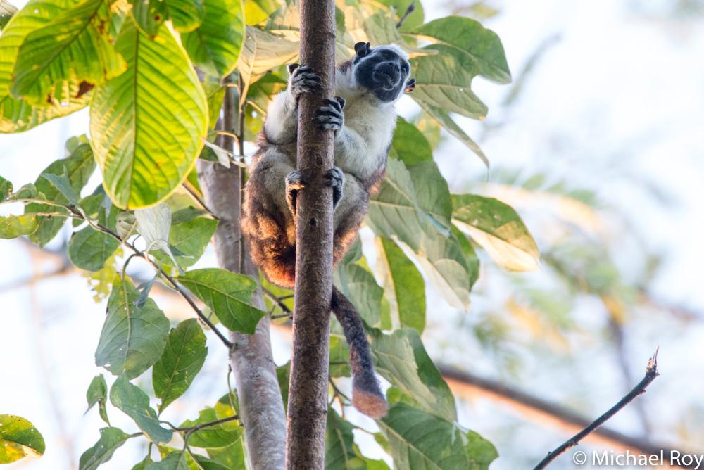 Geoffrey's tamarin monkey