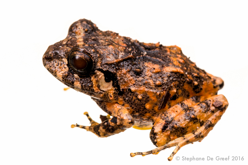 Broad-headed rain frog (Craugastor opimus)