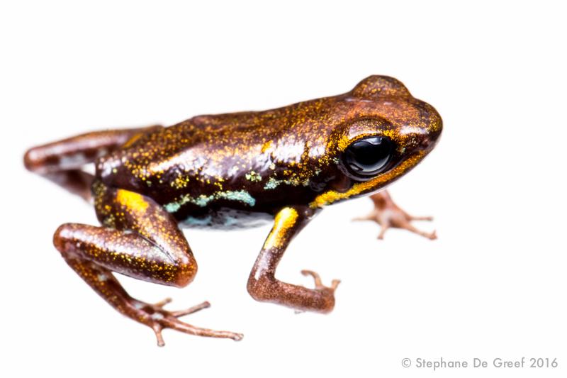 Blue-bellied poison frog (Andinobates minutus)