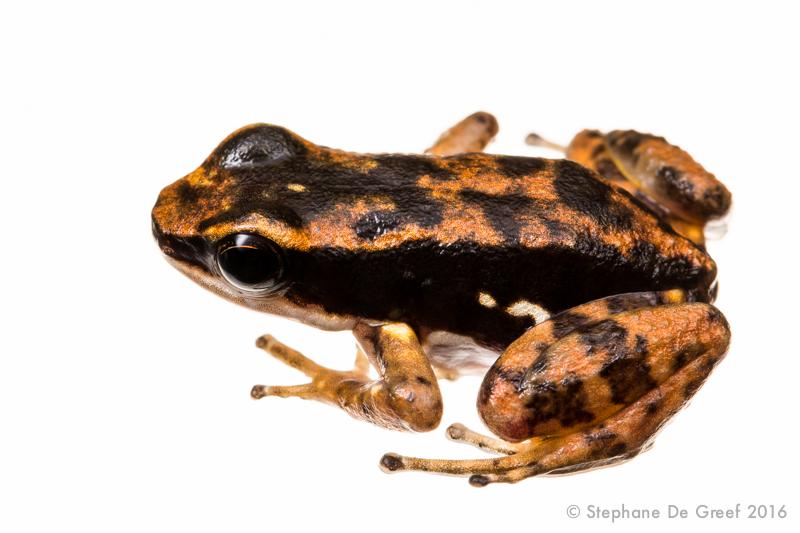 Panama rocket frog (Colostethus panamensis)
