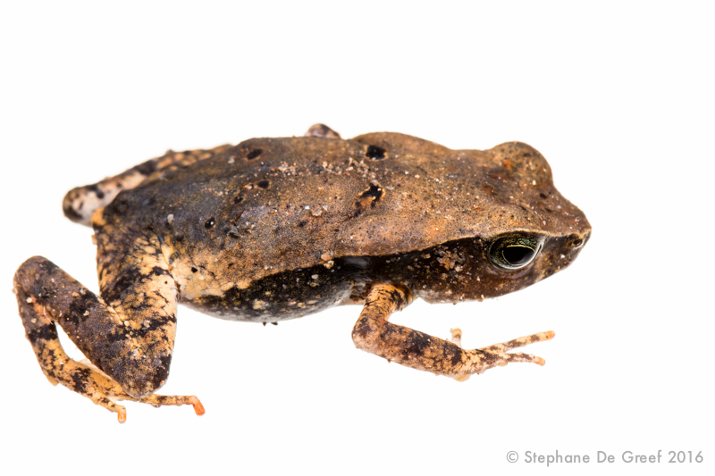Truand toad (Rhaebo haematiticus)