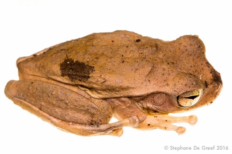 Panama cross-banded treefrog (Smilisca sila)