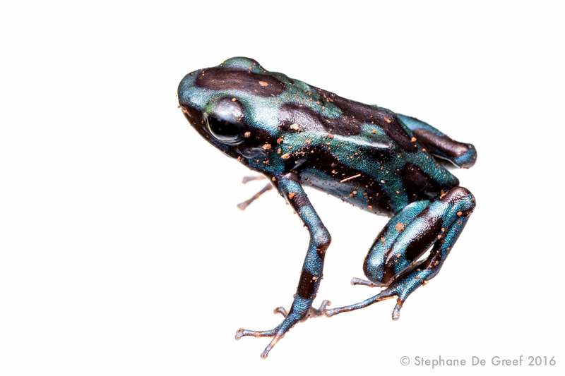 Gold poison-arrow frog (Dendrobates auratus)