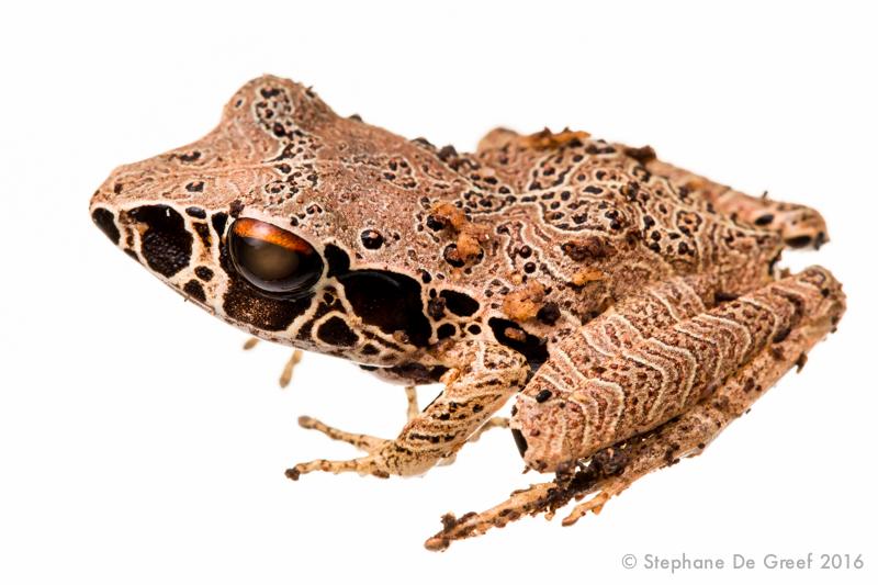 Southern masked rain frog (Craugastor gollmeri)