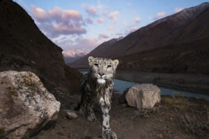 snow leopard trail camera